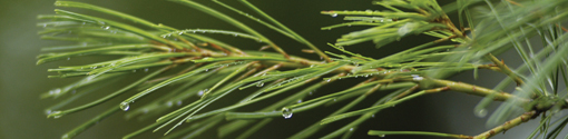 white pine tassel; photo by Edwin Remsberg