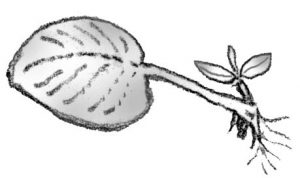illustration showing whole leaf cutting with petiole