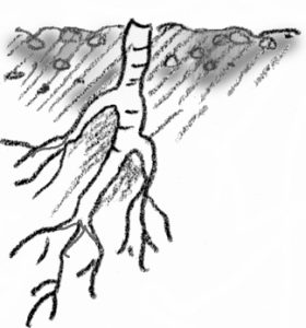 illustration showing root cutting for plants with large roots