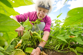 Master Gardener Volunteer works in the vegetable garden; photo by Edwin Remsberg