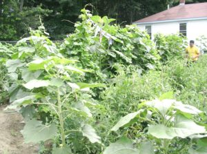tangle of overflowing tomato plants, tripods of creeping, climbing pole beans, towering sunflowers, and bushy herbs