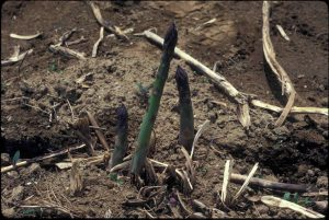 Asparagus spears poking up in the garden