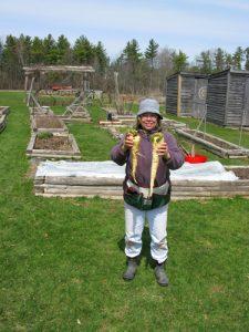 Harvesting parsnips