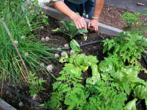 Master Gardener Volunteer working in vegetable garden