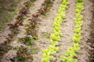 rows of lettuce plants; photo by Edwin Remsberg