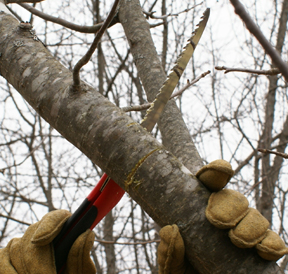 Pruning a fruit tree branch