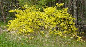 Properly pruned forsythia, open, fountain-like habit