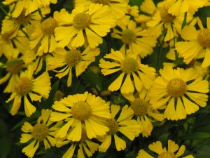 Helen's flower (Helenium autumnale)