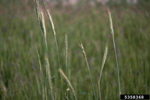 winter rye