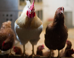 chickens; photo by Edwin Remsberg