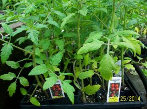 flat of tomato seedlings