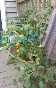 tomatoes on the vine growing in a container on a porch