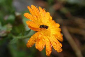 Native Solitary bee on Calendula officinalis