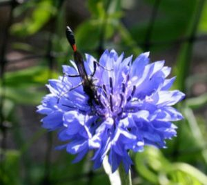 Thead-waisted wasp on Centaurea cyanus