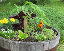 Edible plants in a decorative container.
