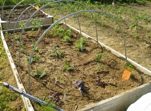 mini-hoophouse without a plastic cover on a raised-bed garden