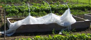 mini-hoophouse with plastic cover pulled back for ventillation