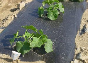 black plastic mulch and cucumber plants