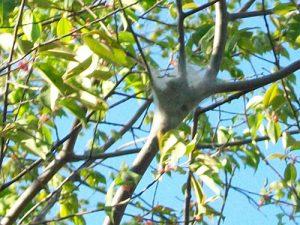 tent caterpiller nest in tree
