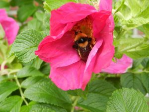 bee in rose