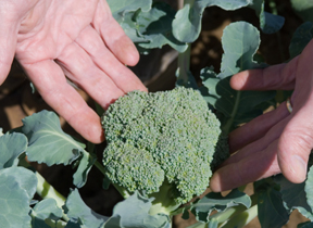 broccoli in the garden