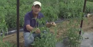 Extension expert demonstrates how to stake tomato plants using a trellis