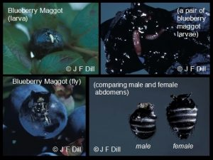 Stages of Blueberry maggots: larvae; fly; comparing male and female abdomens