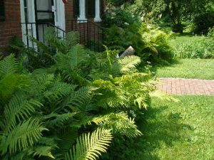 Ostrich ferns grown in house shade
