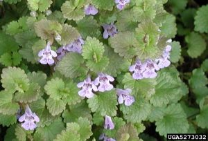 Ground ivy (Glechoma hederacea L.)