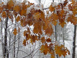 snow-covered oak leaves