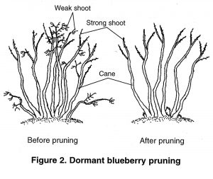 Illustration showing Figure 2. Dormant blueberry pruning, before and after. Weak shoots. strong shoots, and canes are identified. Weak shoots are removed in the After pruning illustration.