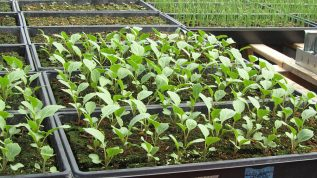flats of seedlings