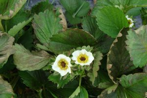 Frost injury to strawberry flowers and leaves.