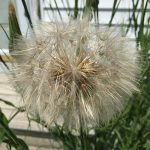 Seedhead of Yellow Hawkweed