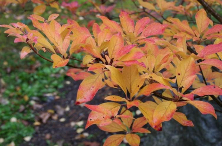 Fall foliage of Redvein Enkianthus