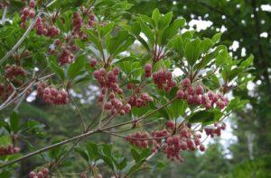 Blossoms on Redvein Enkianthus