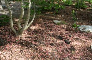 Redvein Enkianthus after petals drop to the ground.