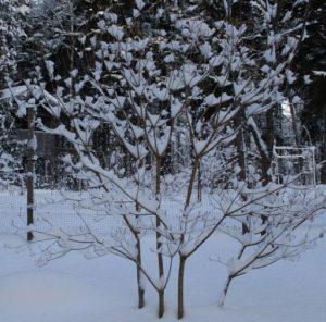 Redvein Enkianthus in winter