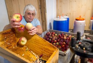 Woman grinds apples for pressing into cider