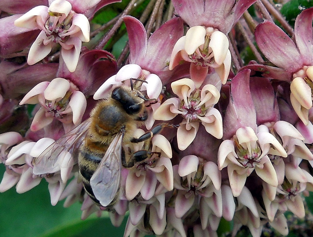 Apis Mellifera on milkweed