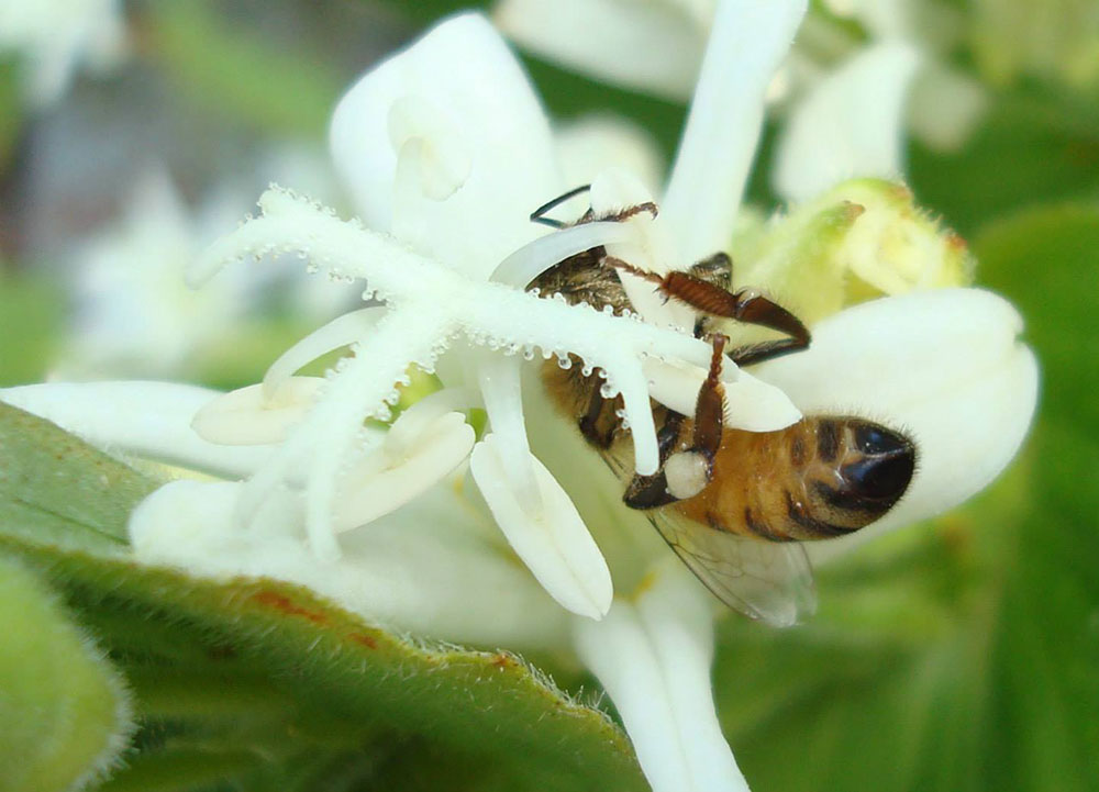 Apis Mellifera on white flower