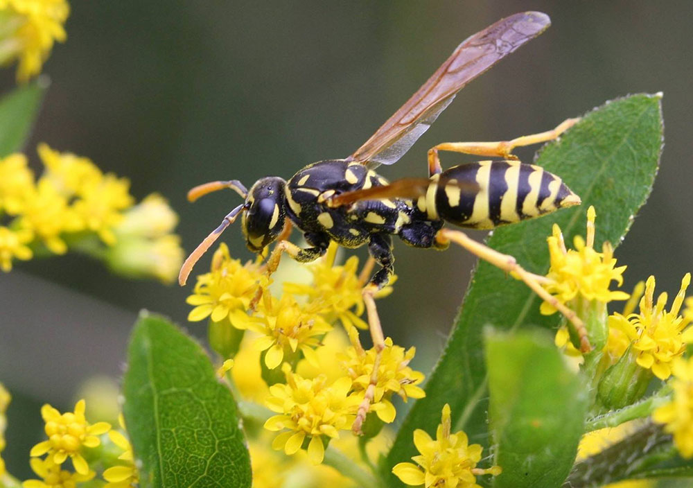 Polistes Dominula on goldenrod