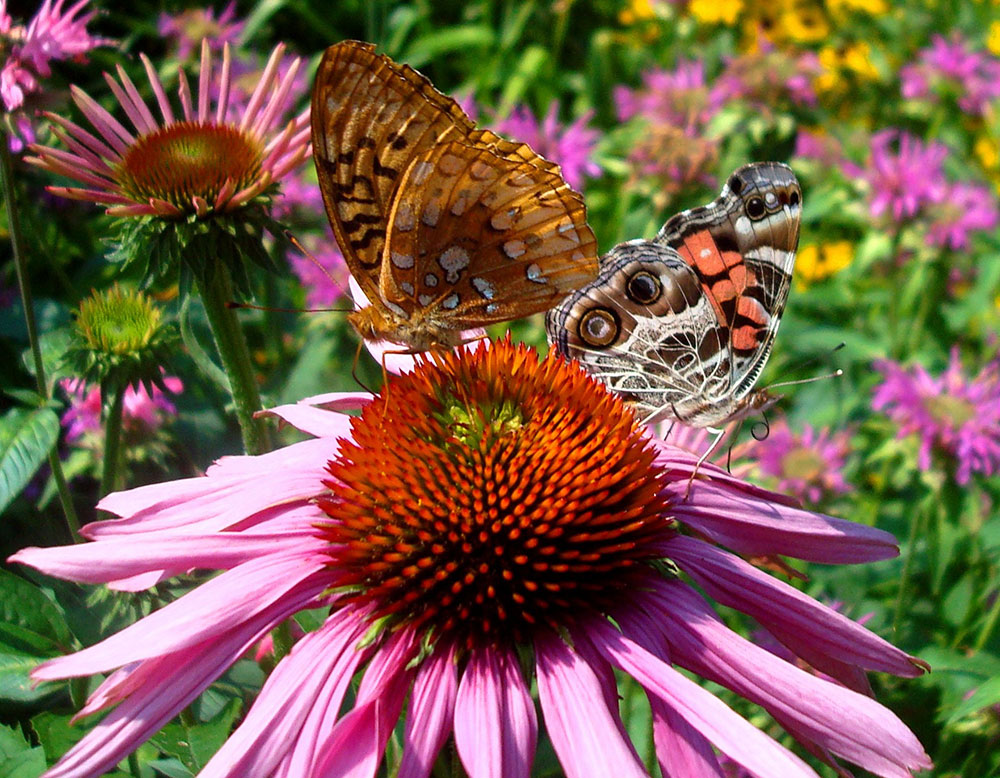 Speyeria Cybele and Vanessa Cardui on Echinacea