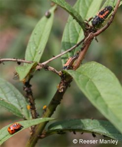 ladybird beetle larvae hunting aphids on Asclepias incarnata