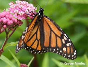 Monarch butterfly on Asclepias incarnata