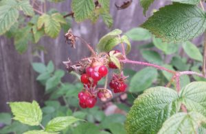 poorly formed raspberries on the vine
