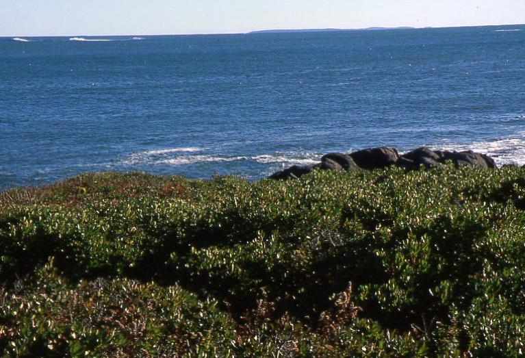 A colony of Morella pensylvanica grows along the coast in Acadia National Park.