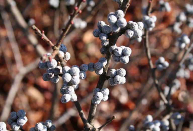 In addition to its wildlife value, the fruit of northern bayberry is used to scent candle wax.