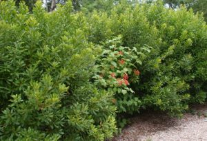 The fruits of American cranberrybush viburnum (Viburnum opulus var. americanum) add a splash of color to the bayberry hedge.