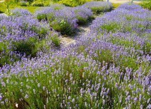 blossoming lavendar